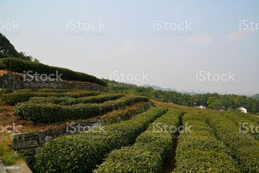 Longjing Tea fields, Hangzhou China stock photo