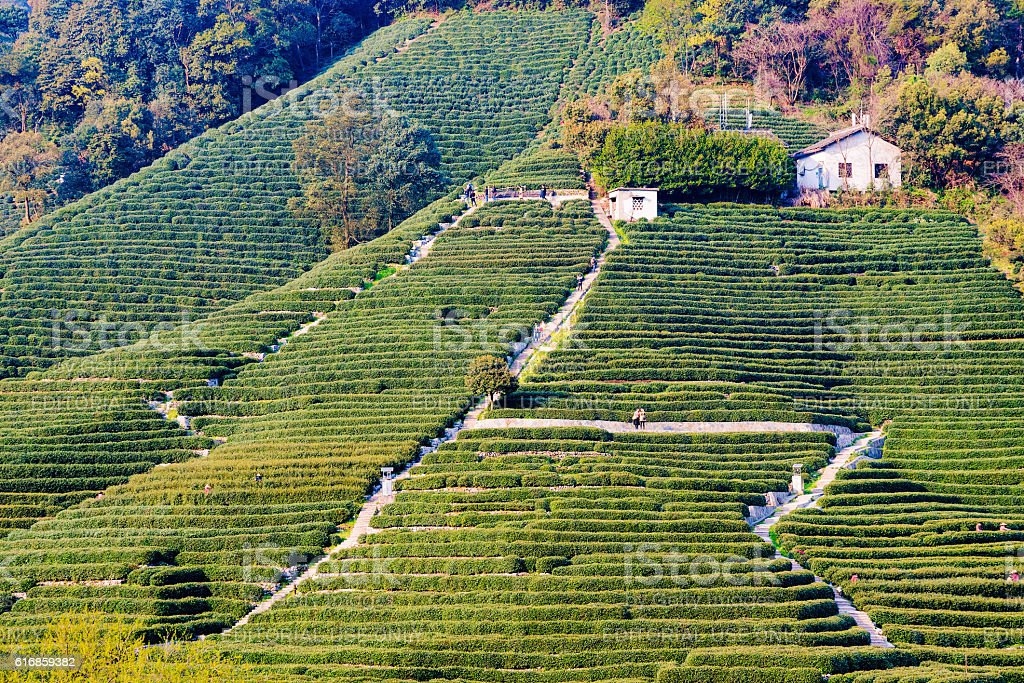 Longjing tea fields mountain stock photo