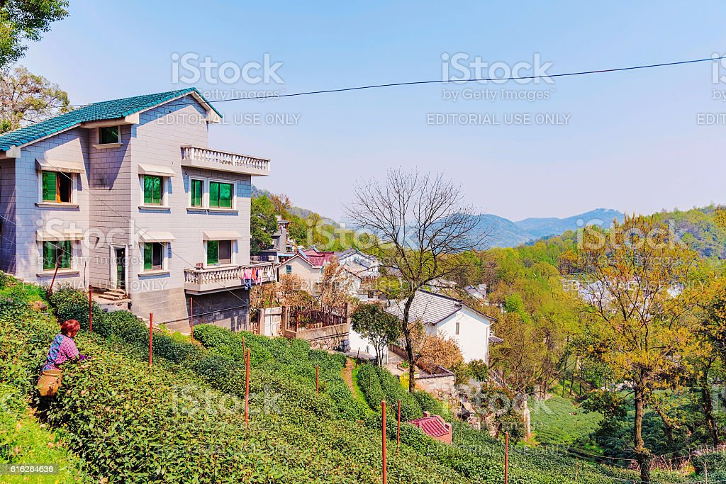 Longjing tea fields stock photo