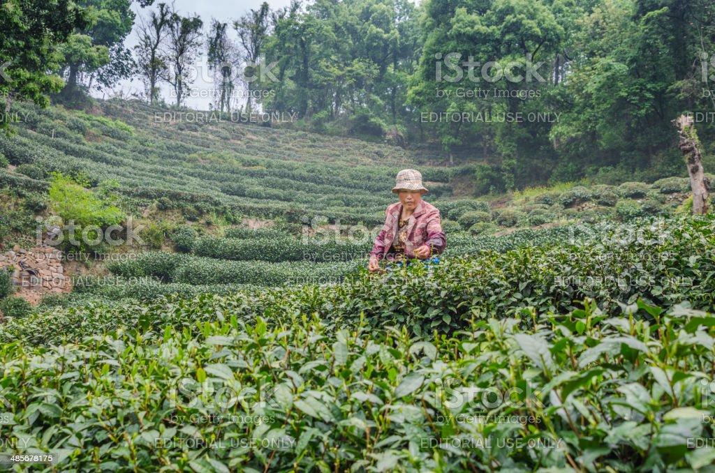 Longjing tea Picker stock photo