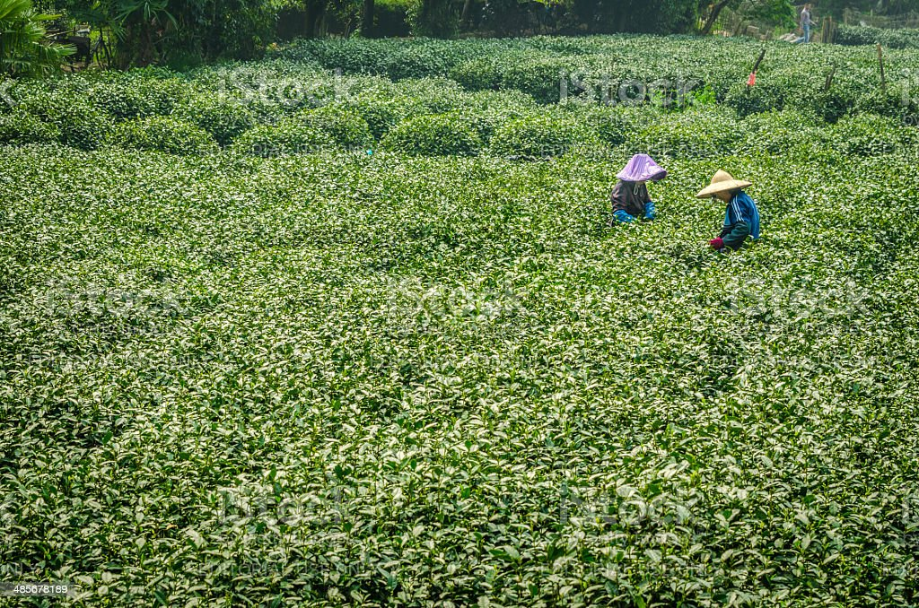 LongJing Tea Pickers of Hangzhou stock photo