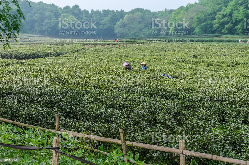 LongJing Tea Plantation and Tea Pickers in Hangzhou, China stock photo