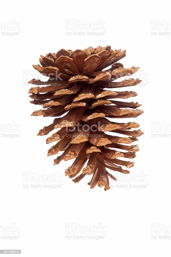 Longleaf pine cone stock photo