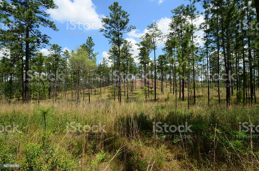 Longleaf pine forest hills with wiregrass understory stock photo