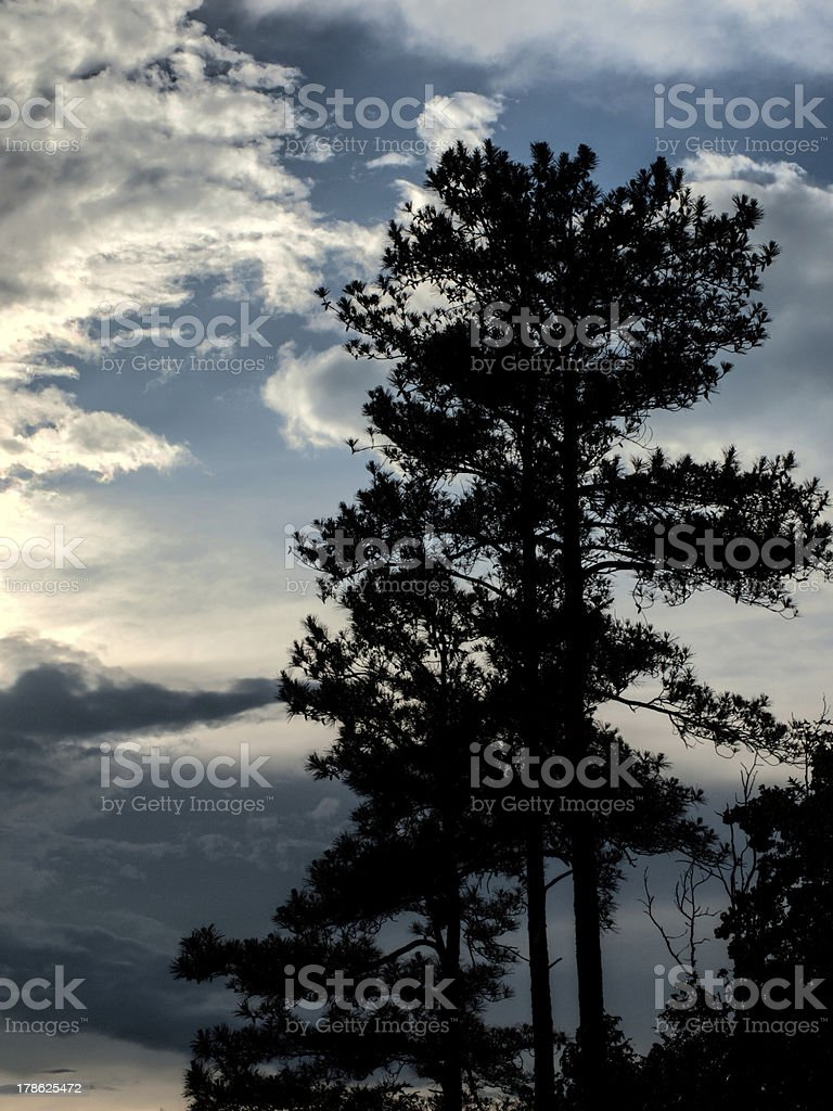Longleaf Pine Trees Silhouette in Sunset Background royalty-free stock photo