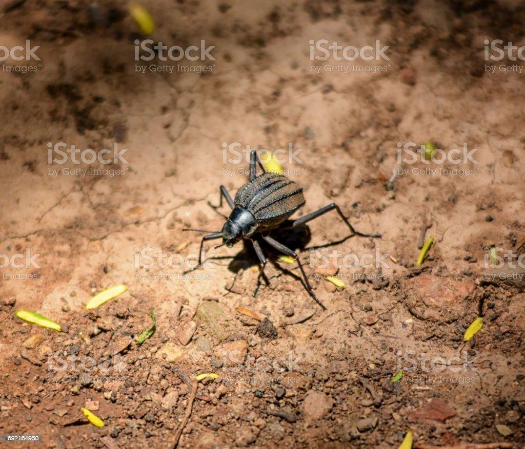 Long-legged Darkling Beetle stock photo