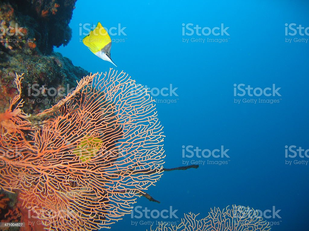 Longnose Butterfly Fish and Fan Coral royalty-free stock photo