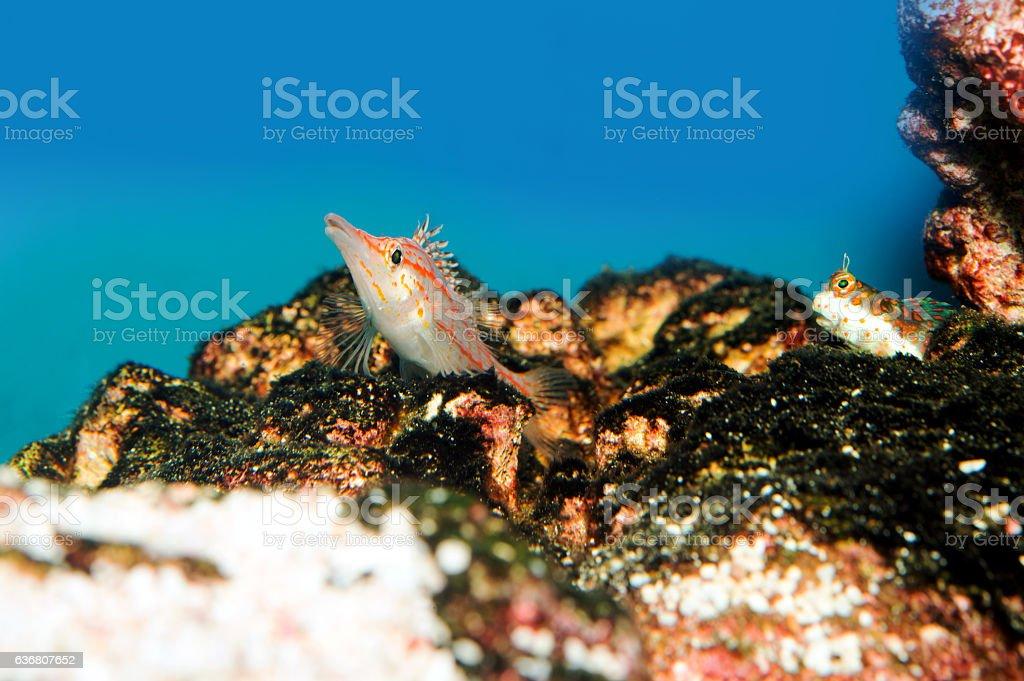 Longnose Hawkfish stock photo