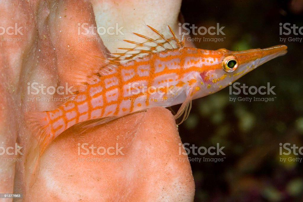 Longnose Hawkfish sitting on a Giant Barrel Sponge stock photo