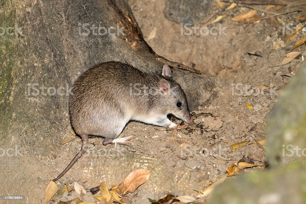 Long-nosed Bandicoot, Qld, Australia stock photo