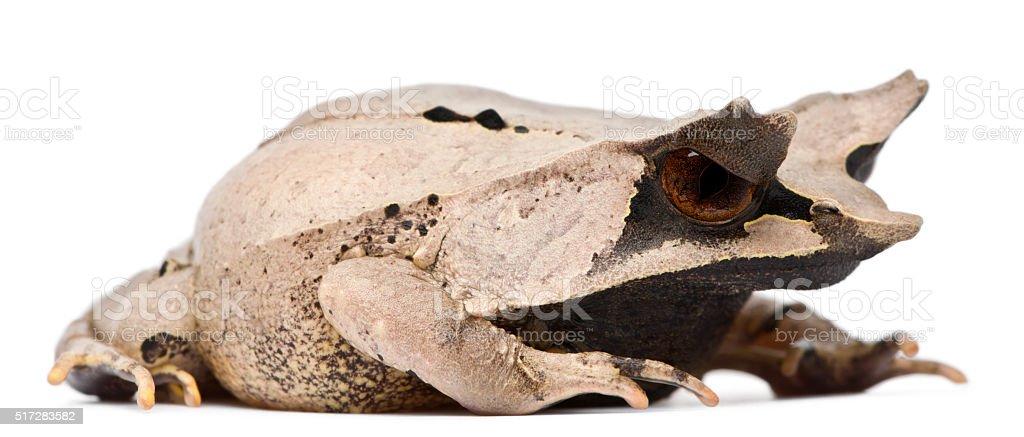 Long-nosed Horned Frog, Megophrys nasuta, 18 months old, stock photo