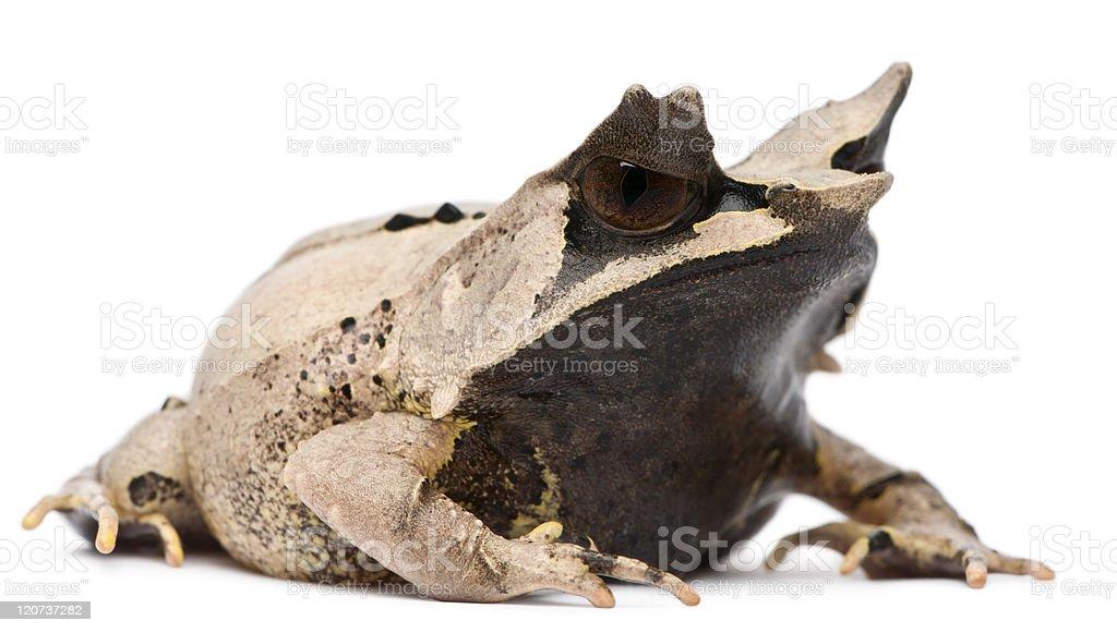 Long-nosed Horned Frog, Megophrys nasuta, eighteen months old, white backgroun. stock photo