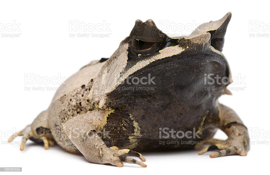 Long-nosed Horned Frog, Megophrys nasuta, eighteen months old, white background. stock photo