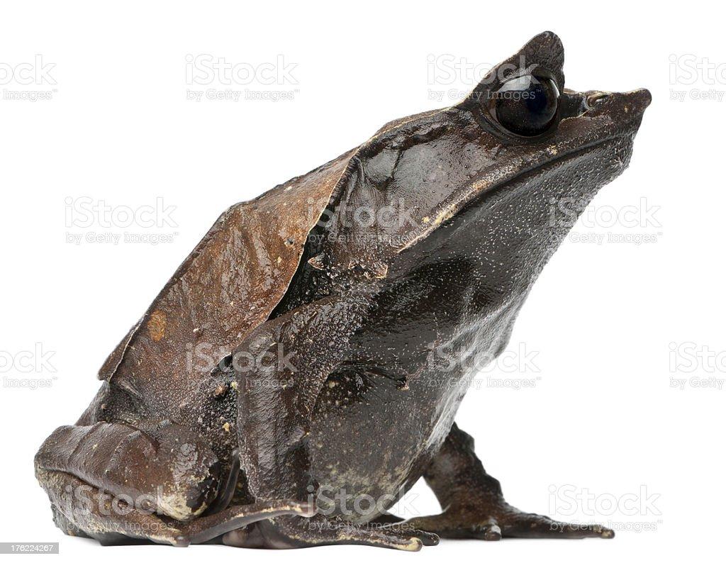 Long-nosed Horned Frog, Megophrys nasuta, isolated on white stock photo