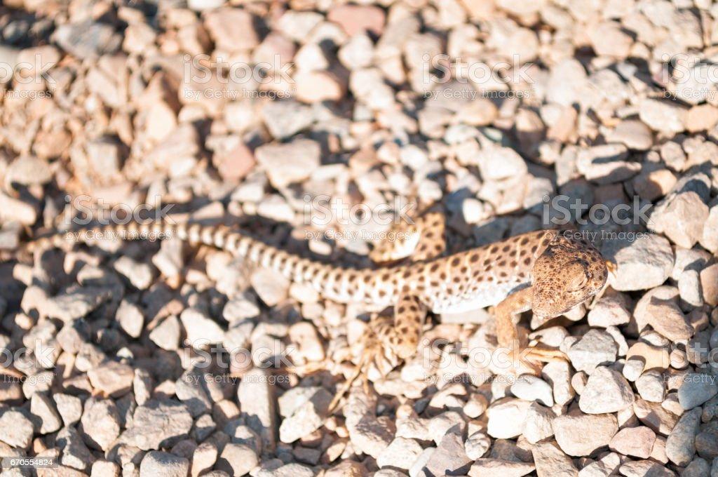 Long-nosed leopard lizard, Canyonlands National Park, Utah stock photo