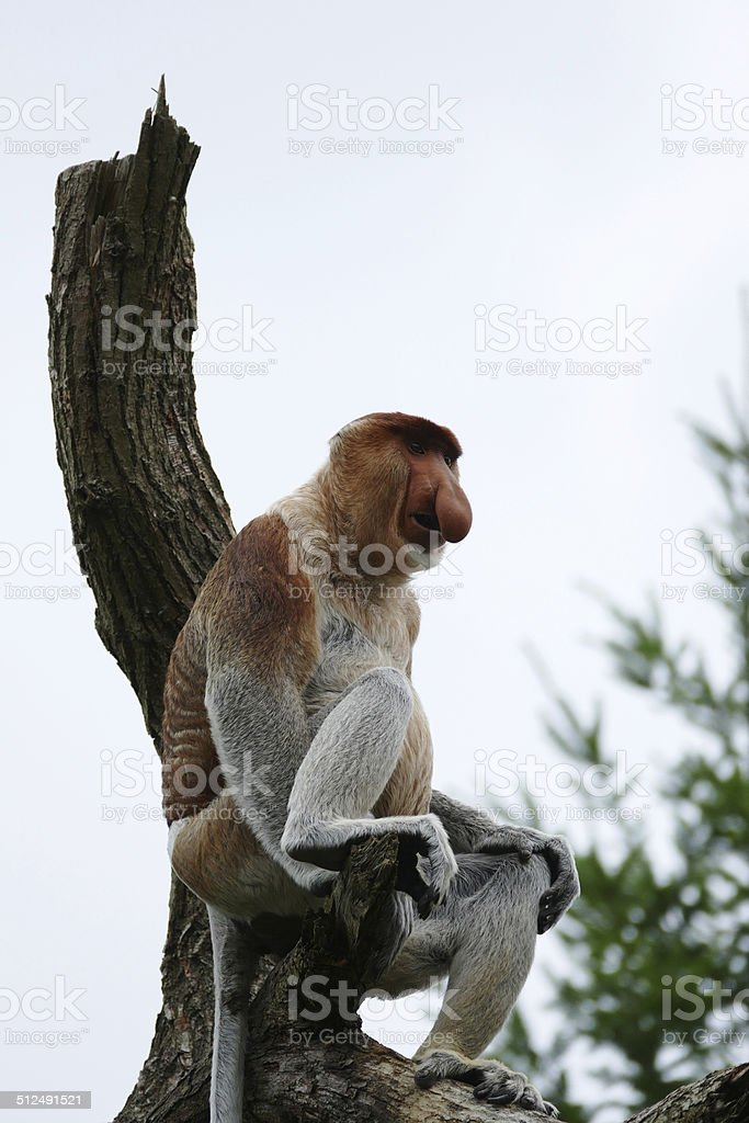long-nosed monkey (Nasalis larvatus) stock photo