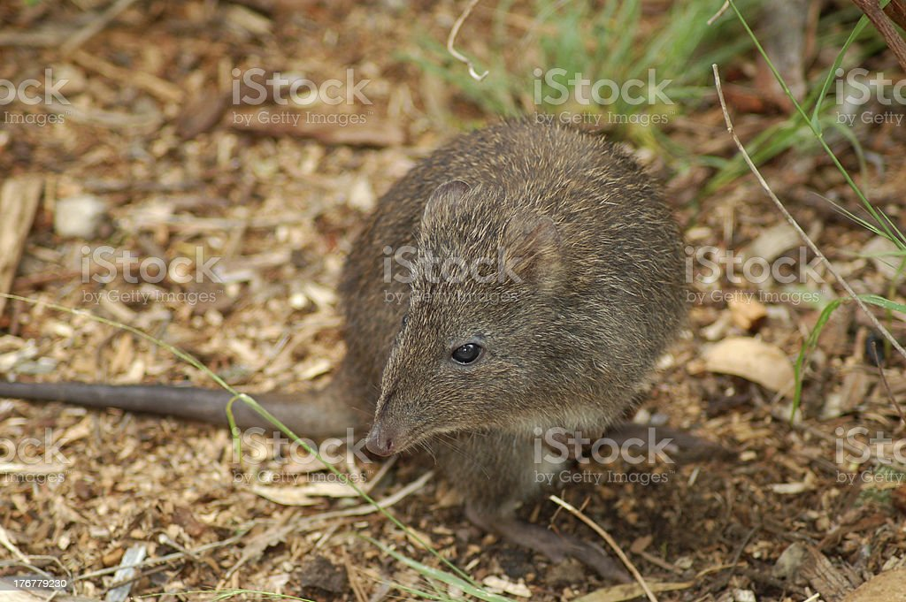 Long-Nosed Potoroo stock photo