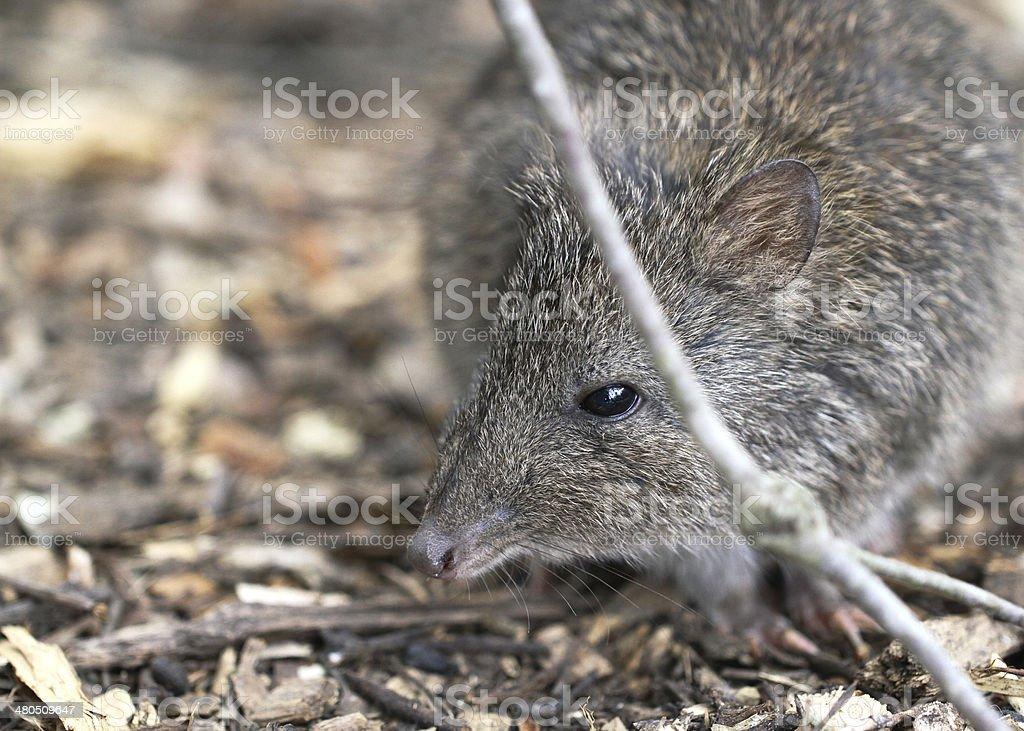 Long-nosed Potoroo (Potorous tridactylus) royalty-free stock photo