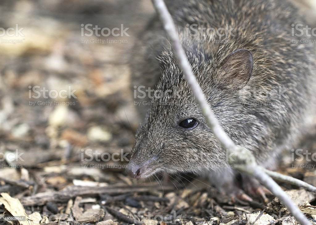 Long-nosed Potoroo (Potorous tridactylus) stock photo