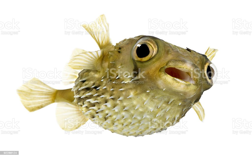 Long-spine porcupine fish swimming forward on white stock photo