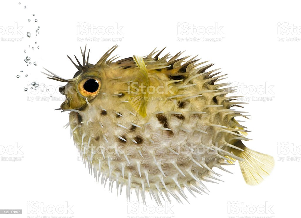 Long-spine porcupinefish also know as spiny balloonfish stock photo
