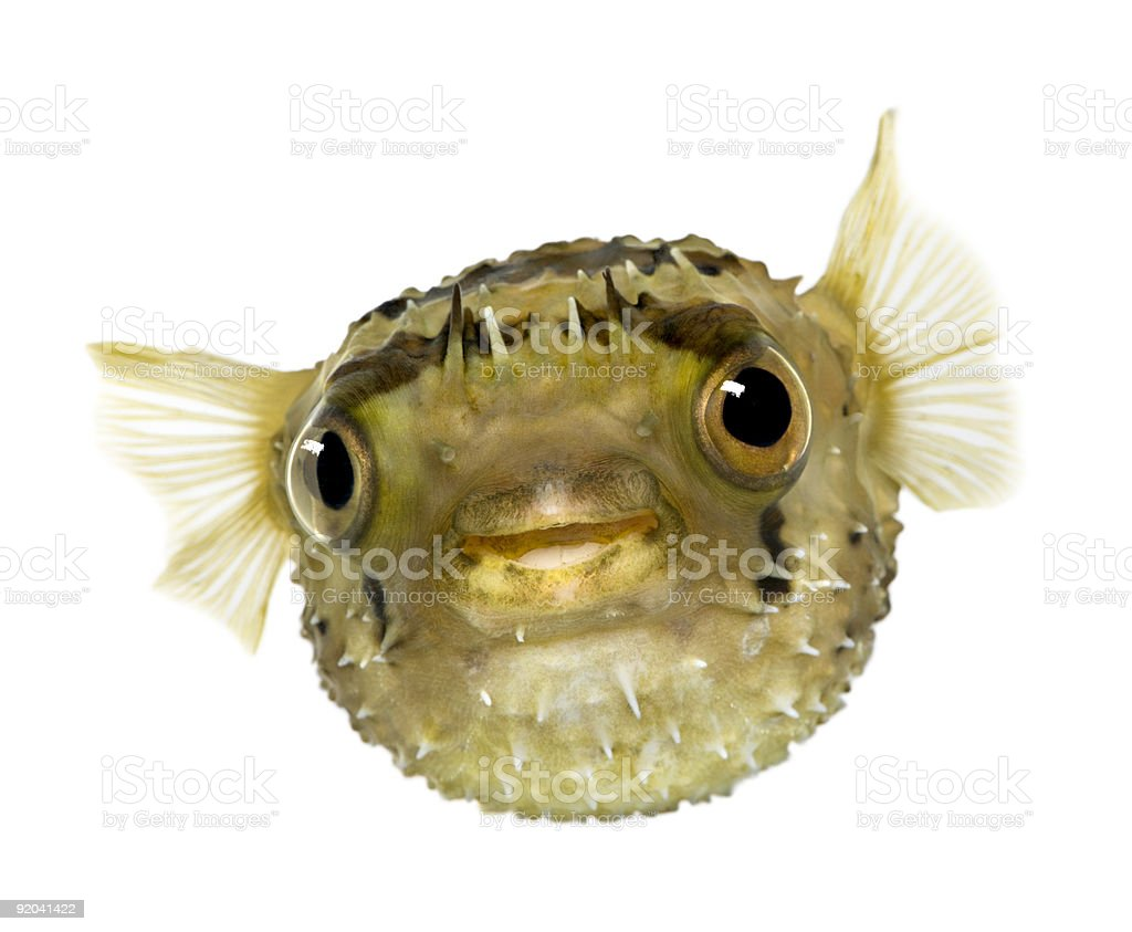 Long-spine porcupinefish - Diodon holocanthus stock photo