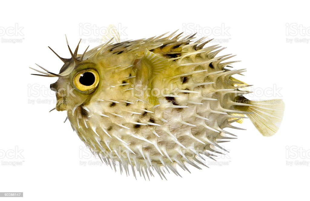Long-spine porcupinefish stock photo