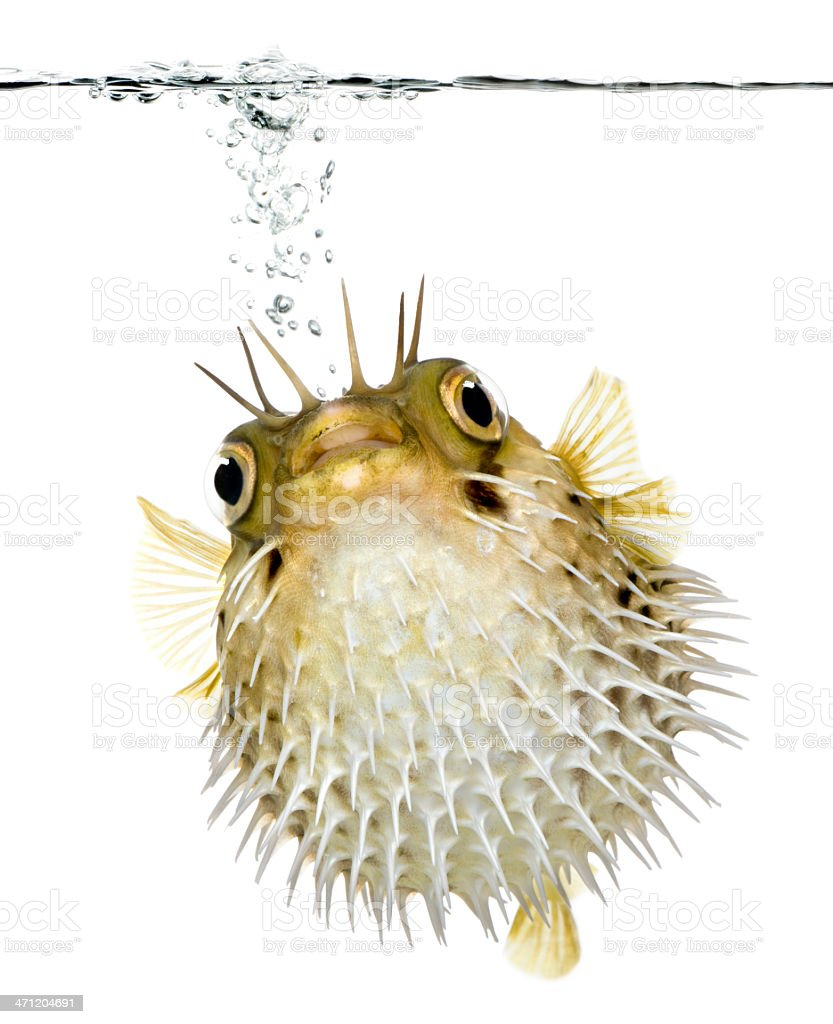 Long-spine porcupinefish swimming under the waterline stock photo