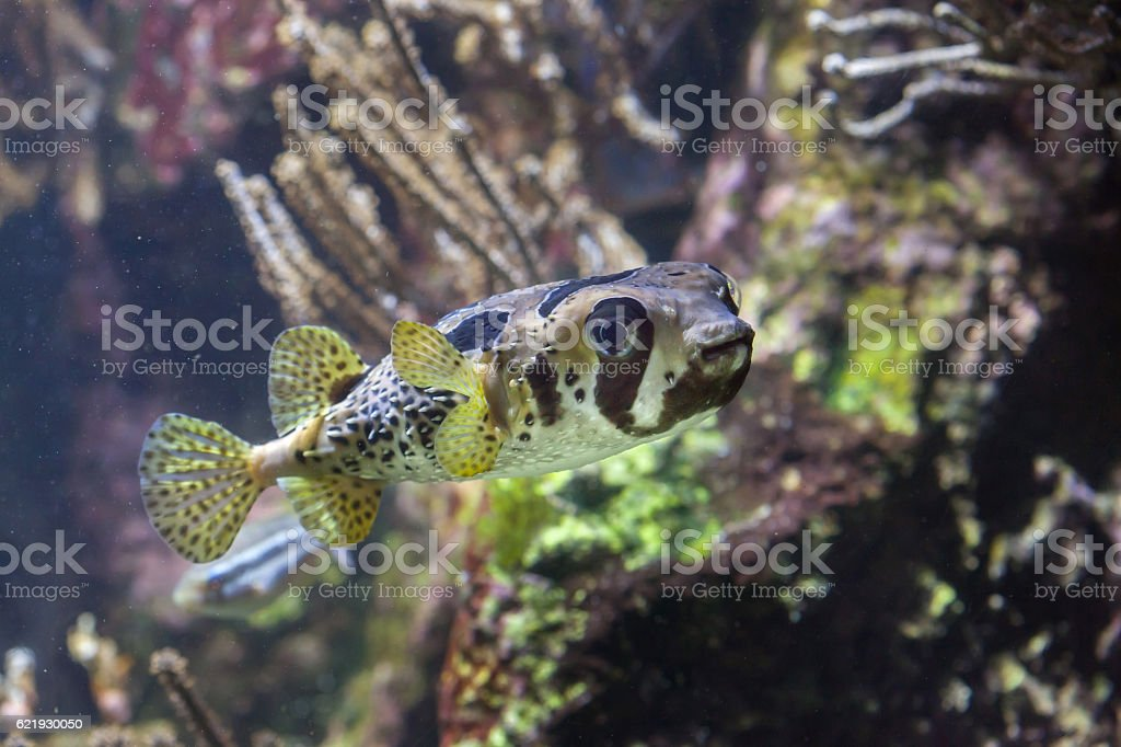Longspined porcupinefish (Diodon holocanthus) stock photo