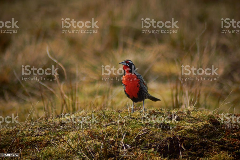 Long-tail Meadowlark at Volunteer point -Falkland Islands stock photo