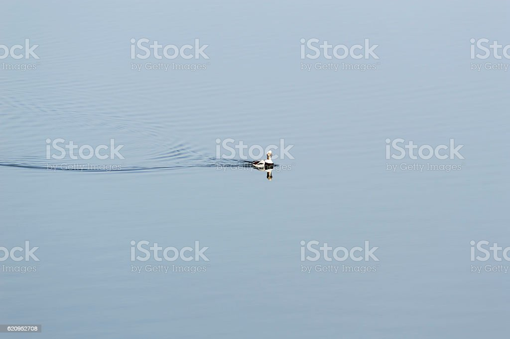 Long-tailed Duck on the move stock photo