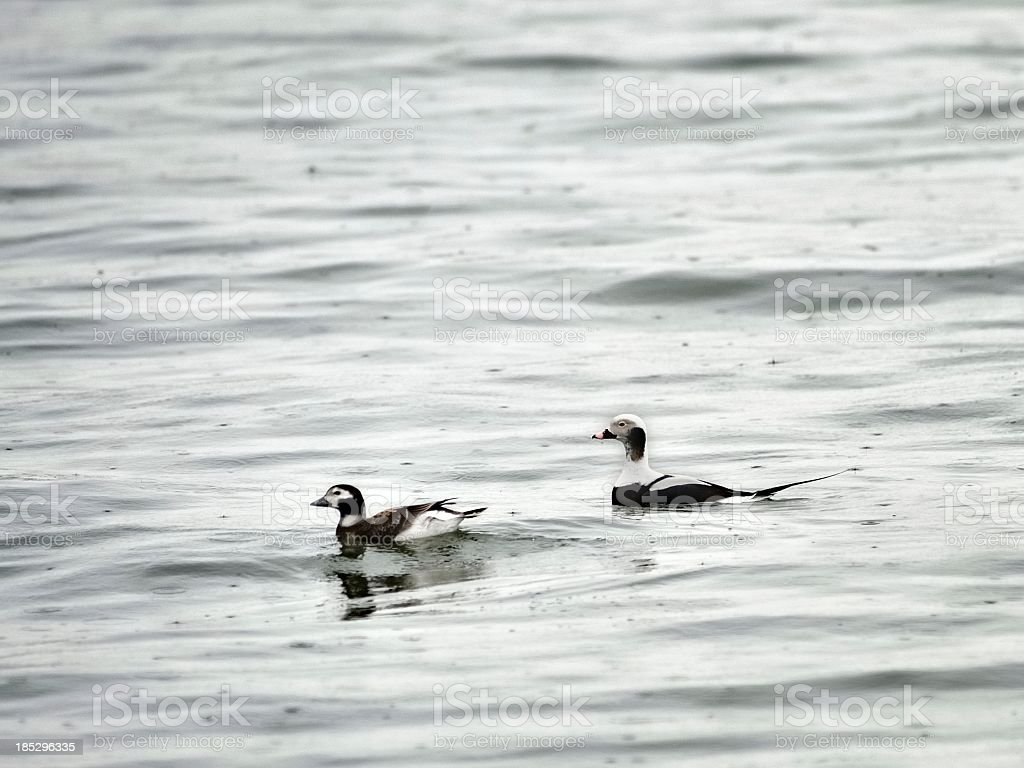 Long-tailed Duck Pair In February stock photo