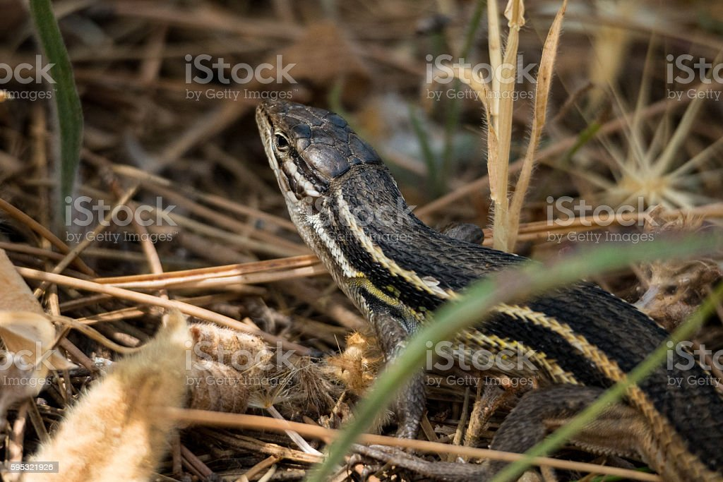 Long-tailed lizard (Psammodromus algirus) stock photo