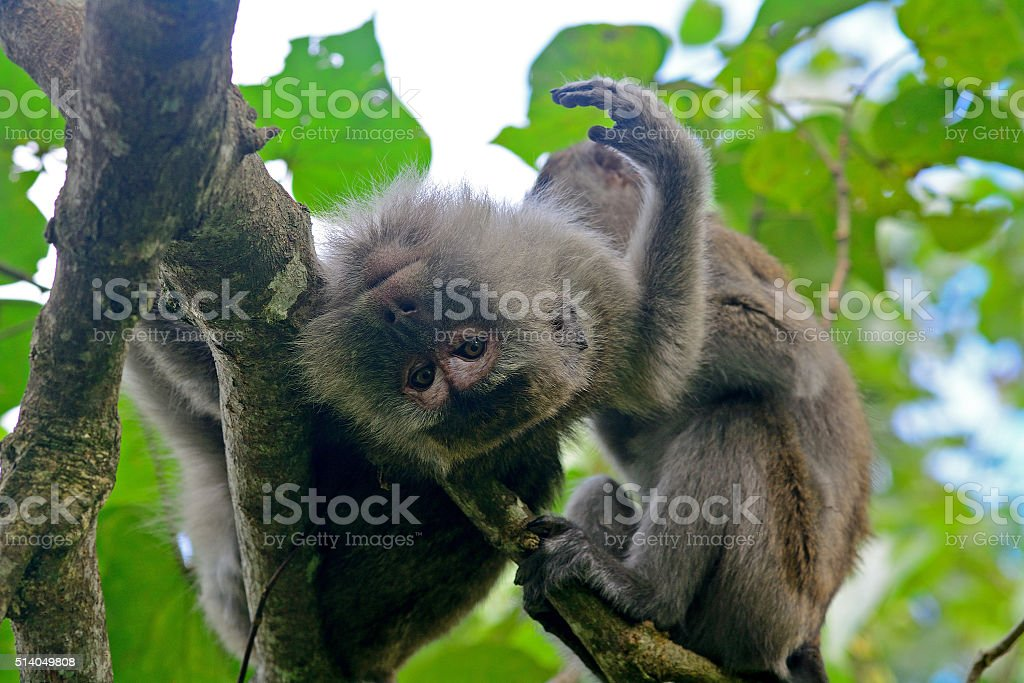 Long-tailed macaque, Borneo, Malaysia stock photo