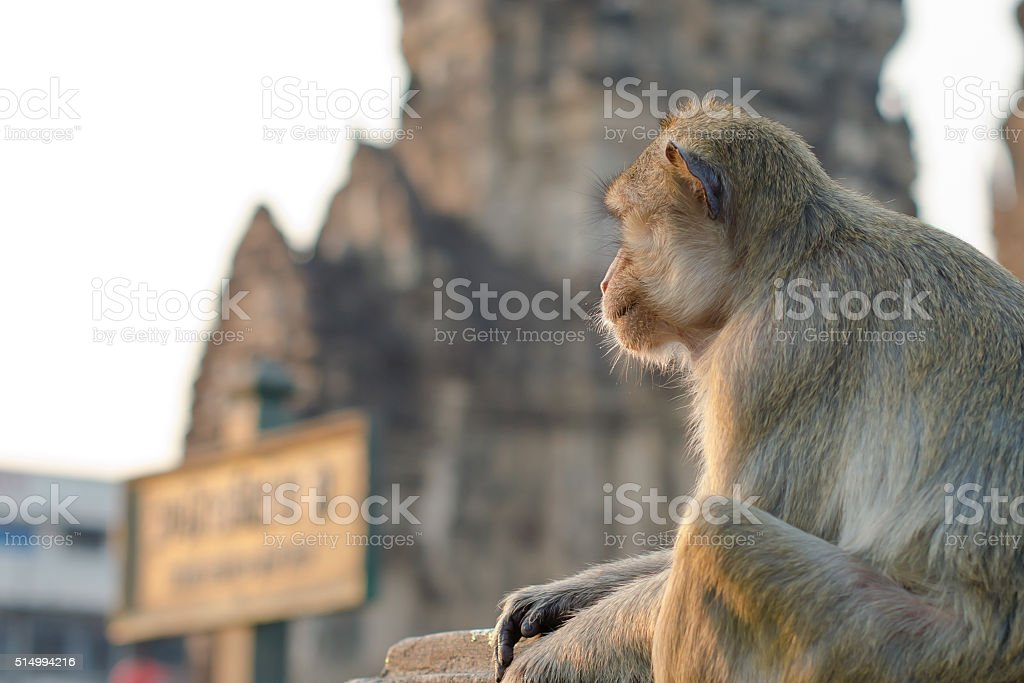 Long-tailed macaque monkey (Crab-eating macaque) in Lopburi province Thailand stock photo