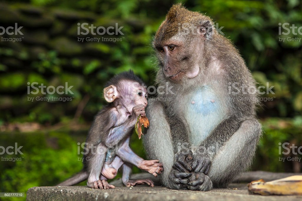 Long-tailed Macaque. Mother and son. Bali stock photo