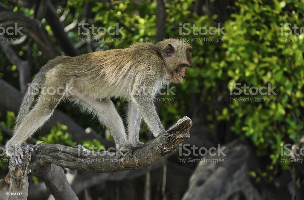 Long-tailed macaque royalty-free stock photo