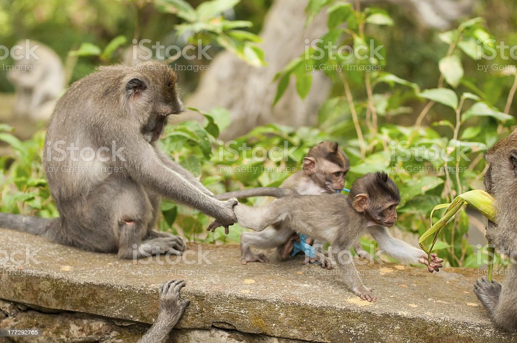 Long-tailed macaques royalty-free stock photo