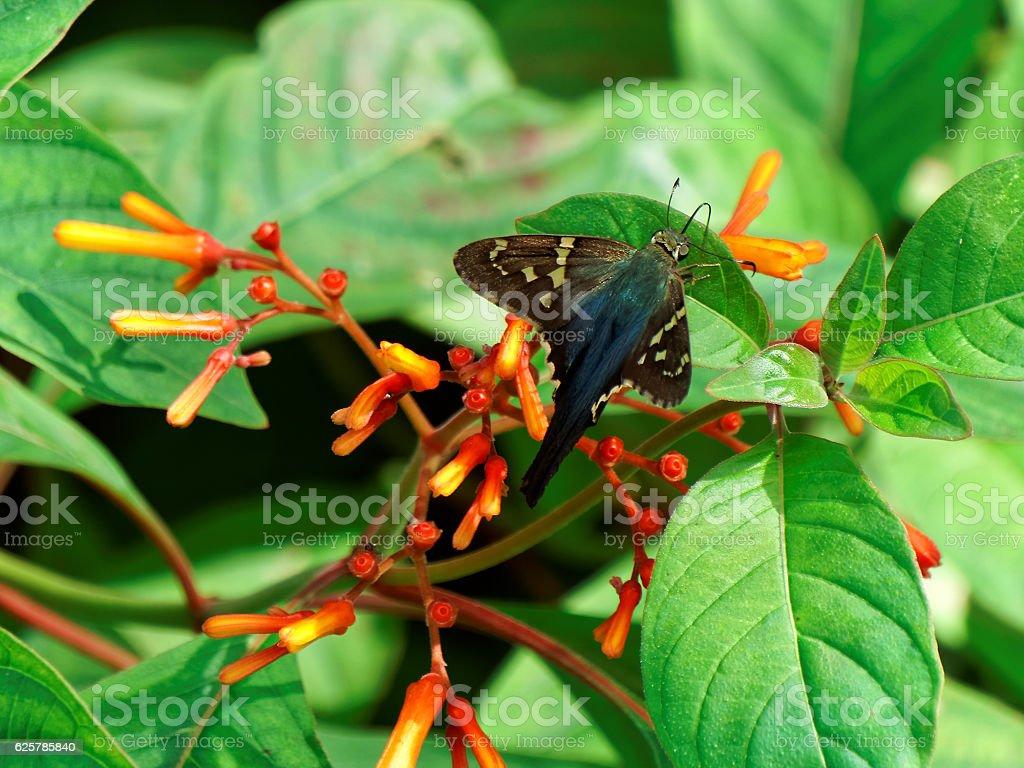Long-tailed Skipper Butterfly on Firebush Plant stock photo