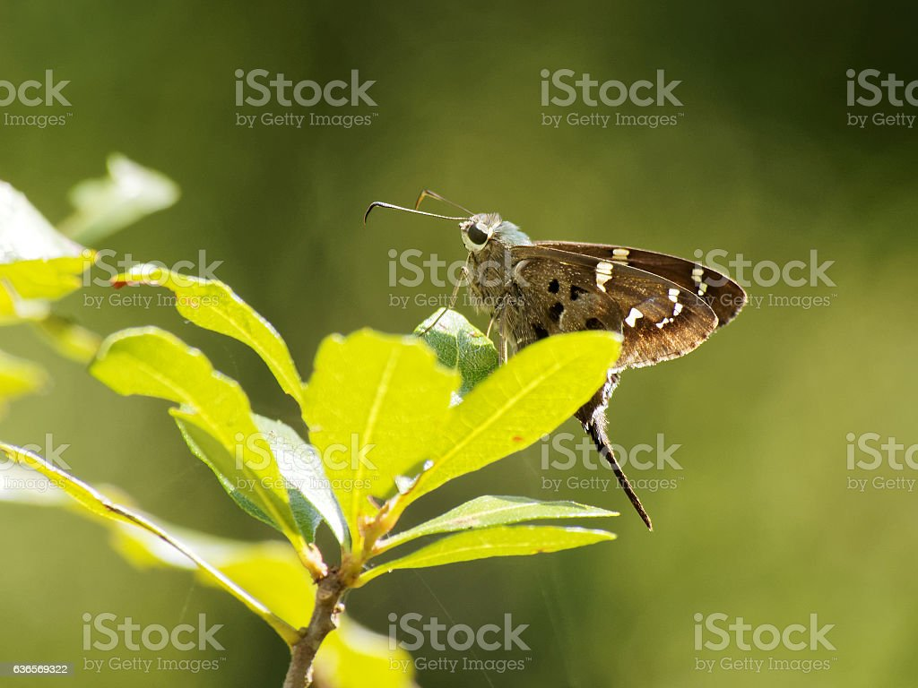 Long-tailed Skipper Posing on Plant stock photo