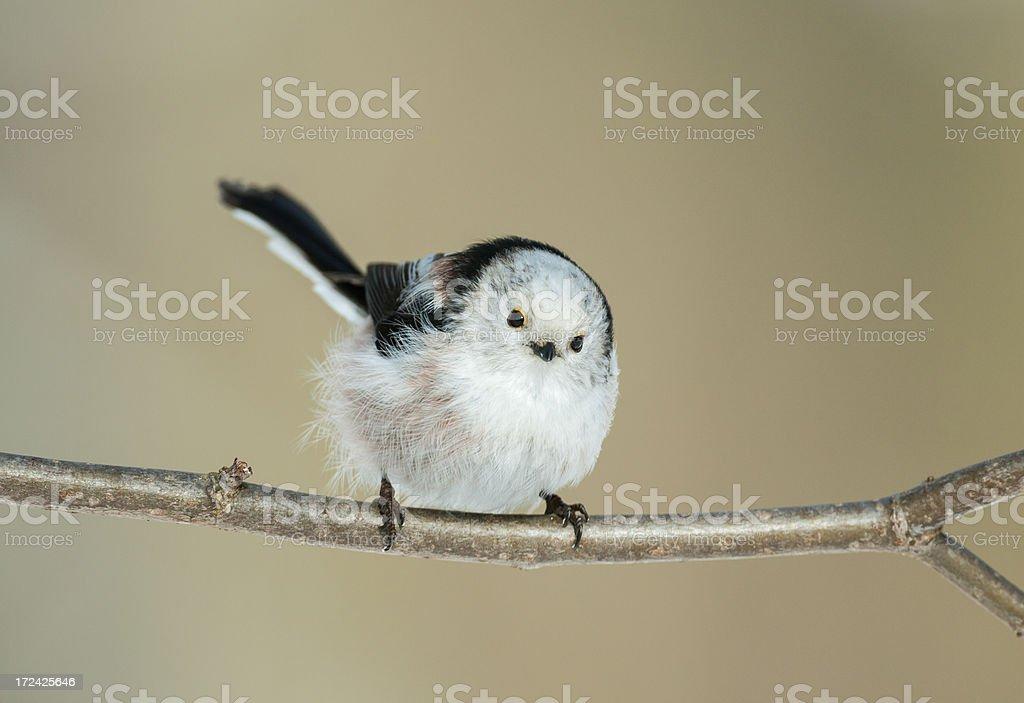 Long-tailed Tit (Aegithalos caudatus) royalty-free stock photo