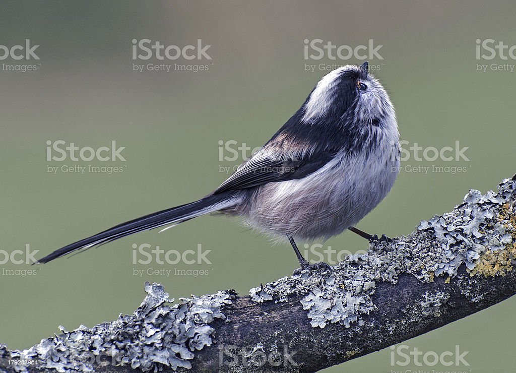 Long-tailed Tit royalty-free stock photo