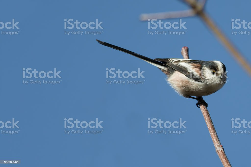 Long-tailed tit sitting on a branch stock photo