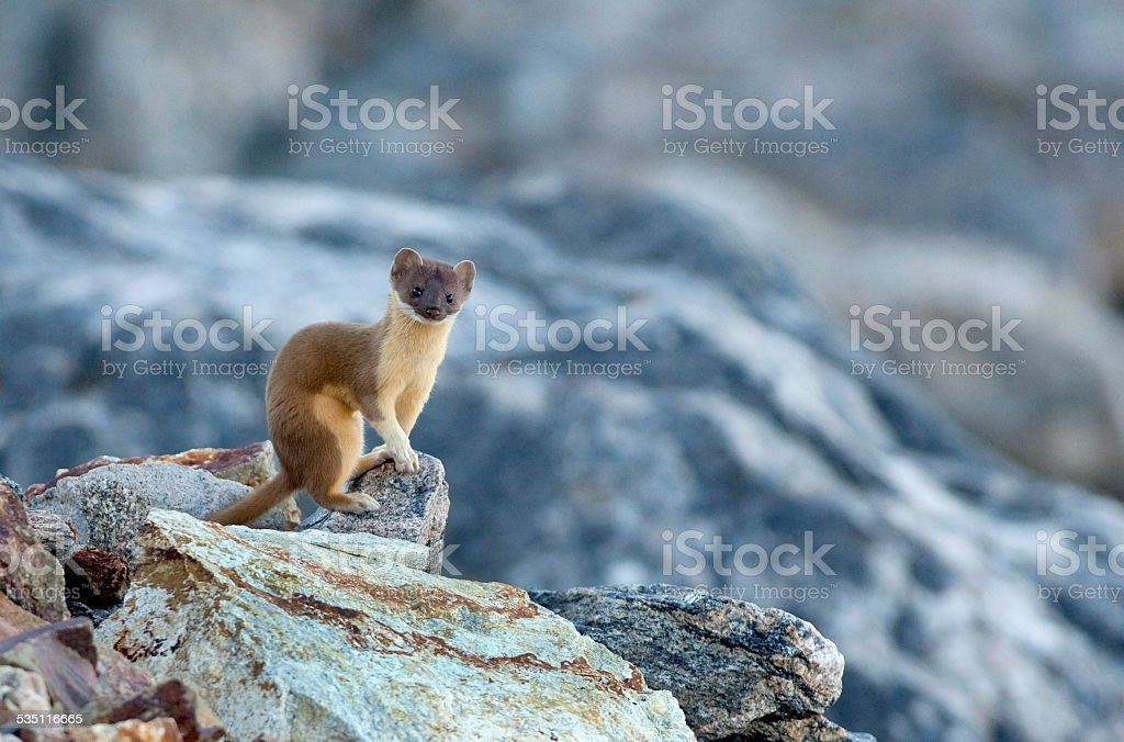 Long-tailed weasel copy space Rocky Mountain NP Colorado stock photo