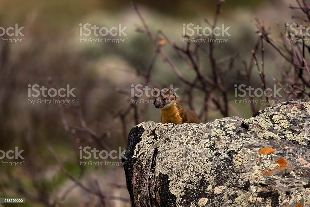 Long-Tailed Weasel Peeking Over a Lichen Covered Rock stock photo