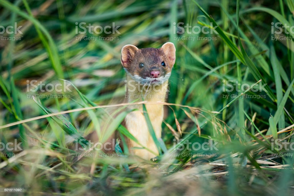 Long-tailed Weasel (Mustela frenata) stock photo