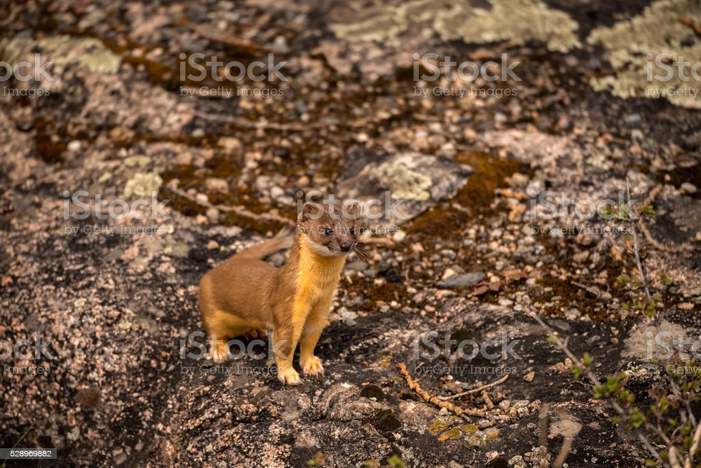 Long-Tailed Weasel stock photo