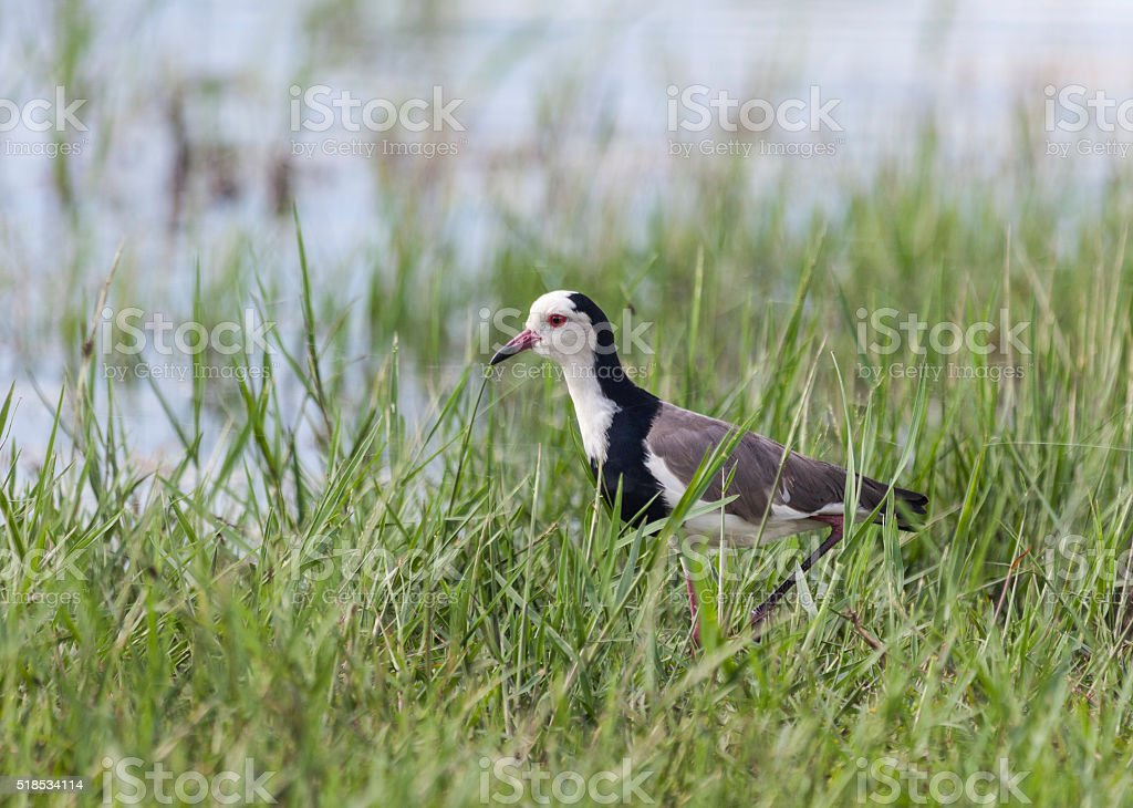 Long-toed Lapwing, Vanellus crassirostris, Chobe National Park, Botswana, Africa stock photo