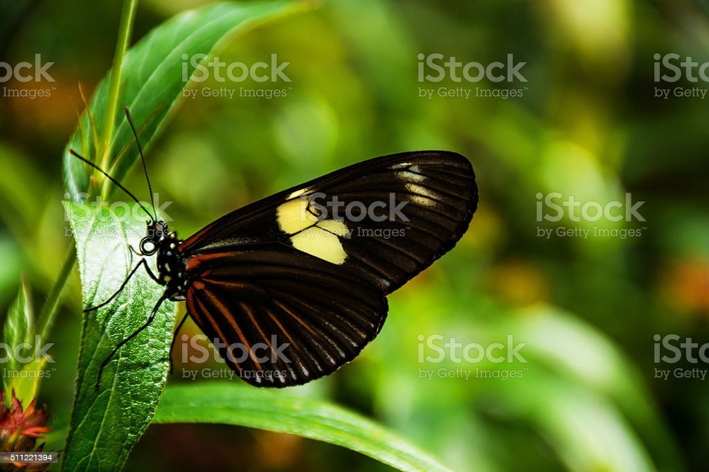 Longwing Butterfly stock photo