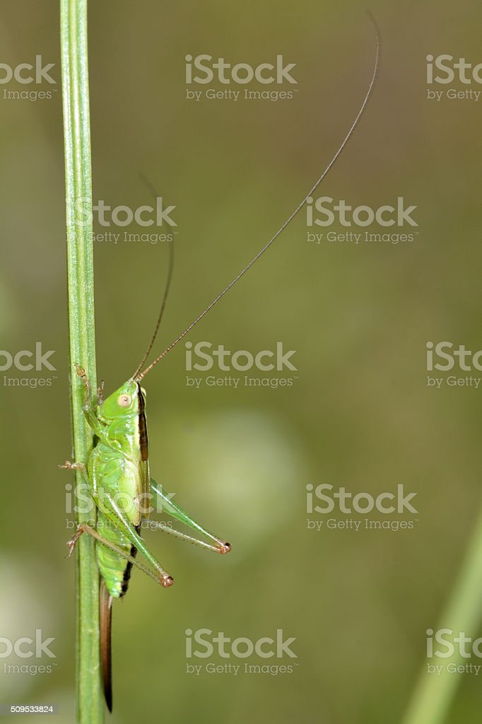 Long-winged cone-head (Conocephalus discolor) nymph stock photo